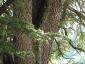 Cedro del Libano Badia a Coltibuono