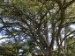Cedro del Libano di Villa Paolucci-Merlini a Forlimpopoli FC foto 4