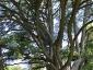 Cedro del Libano di Villa Paolucci-Merlini a Forlimpopoli FC foto 7