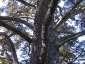 cedro-libano-orto-lucca-07