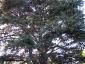 cedro-libano-orto-lucca-11
