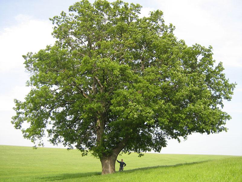 Florablog contest secondo albero monumentale il cerro - Piante alte da giardino ...
