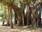 Alberi monumentali, Ficus macrophylla Piazza Marina Palermo-01