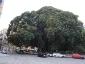 Alberi monumentali, Ficus macrophylla Piazza Marina Palermo-02