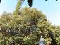 Alberi monumentali, Ficus macrophylla Piazza Marina Palermo-03