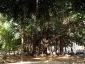 Alberi monumentali, Ficus macrophylla Piazza Marina Palermo-04