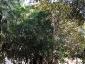 Alberi monumentali, Ficus macrophylla Piazza Marina Palermo-05