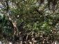 Alberi monumentali, Ficus macrophylla Piazza Marina Palermo-06