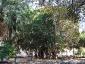Alberi monumentali, Ficus macrophylla Piazza Marina Palermo-07