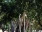 Alberi monumentali, Ficus macrophylla Piazza Marina Palermo-08