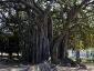 Alberi monumentali, Ficus macrophylla Piazza Marina Palermo-09