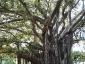 Alberi monumentali, Ficus macrophylla Piazza Marina Palermo-10