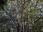 Alberi monumentali, Ficus macrophylla Piazza Marina Palermo-11