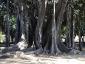 Alberi monumentali, Ficus macrophylla Piazza Marina Palermo-12