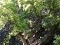 Cinnamomum-camphora-capodimonte-na-02
