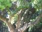 Cinnamomum-camphora-capodimonte-na-03