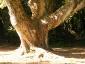 Cinnamomum-camphora-capodimonte-na-04