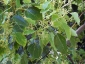 Cinnamomum-camphora-capodimonte-na-05