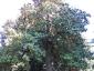 Magnolia-grandiflora-capodimonte-na-01