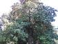 Magnolia-grandiflora-capodimonte-na-02
