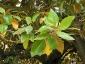 Magnolia-grandiflora-capodimonte-na-03
