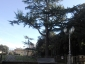 _cedro-dell-Himalaya-Vallerano-vt-18