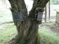 l\'intervento consolidativo del tronco