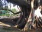 ficus-macrophylla-giardino-bellini-catania-04