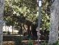 ficus-macrophylla-giardino-bellini-catania-05