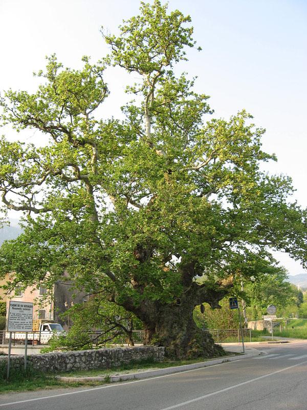 Alberi monumentali il platano dei 100 bersaglieri a for Nomi di alberi sempreverdi