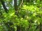 grande-quercia-farnia-parco-sile-tv-05