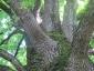 grande-quercia-farnia-parco-sile-tv-07
