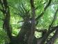 grande-quercia-farnia-parco-sile-tv-08