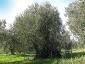 l'Olivo della Strega a Magliano in Toscana (Gr)-02
