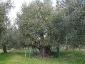 l\'Olivo della Strega a Magliano in Toscana (Gr)-03
