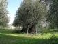 l\'Olivo della Strega a Magliano in Toscana (Gr)-04