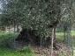 l\'Olivo della Strega a Magliano in Toscana (Gr)-05