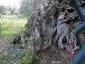 l\'Olivo della Strega a Magliano in Toscana (Gr)-06