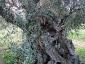l\'Olivo della Strega a Magliano in Toscana (Gr)-07