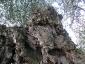 l'Olivo della Strega a Magliano in Toscana (Gr)-09