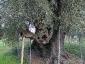 l\'Olivo della Strega a Magliano in Toscana (Gr)-10