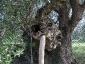 l'Olivo della Strega a Magliano in Toscana (Gr)-11