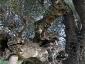l'Olivo della Strega a Magliano in Toscana (Gr)-12