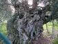 l\'Olivo della Strega a Magliano in Toscana (Gr)-13