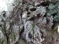 l'Olivo della Strega a Magliano in Toscana (Gr)-15