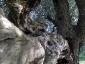 l'Olivo della Strega a Magliano in Toscana (Gr)-17