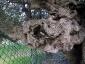 l'Olivo della Strega a Magliano in Toscana (Gr)-19
