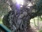 l'Olivo della Strega a Magliano in Toscana (Gr)-20