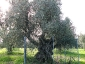 l\'Olivo della Strega a Magliano in Toscana (Gr)-24