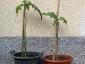 Le due piante di Solanum torvum